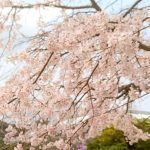 広島広域公園の桜