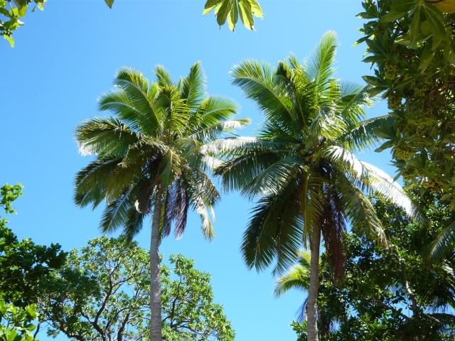 Fiji のヤシの木