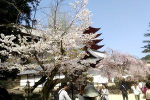 五重塔と桜