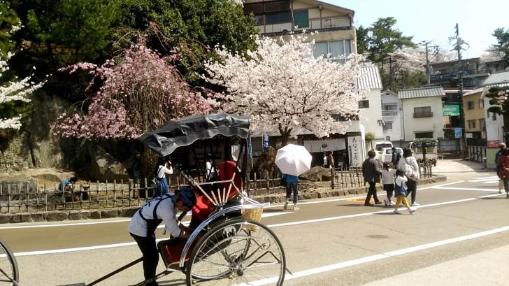 人力車と桜